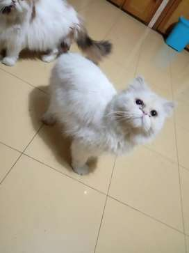 Piki faced male cat