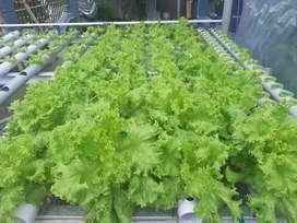 Menjual sayuran hidroponik