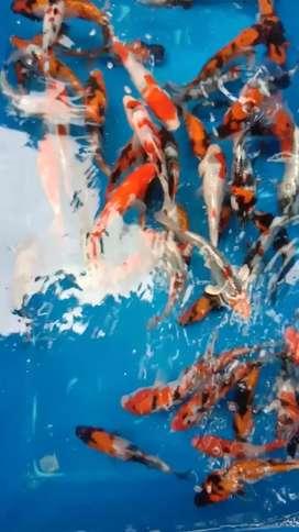 Ikan koi blitar size 15 sampai 17cm