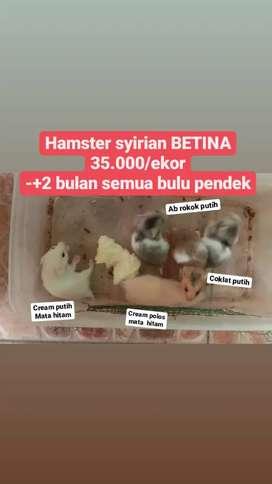 Hamster syirian BETINA anak 2 bulan