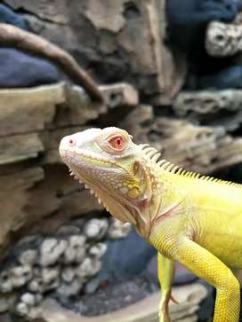 Iguana Albino 65cm Jantan