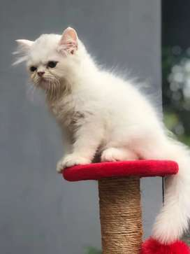 Kucing persia flat nose (hasil dari peak X peak)