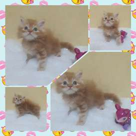 Kitten Persia flatnose&Peaknose Gimbul.