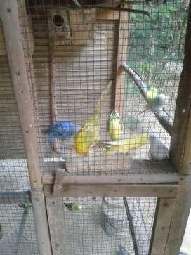 Burung parkit 1 kandang