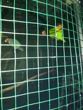 Di jual burung Lovebird mau ganti hobi