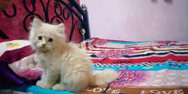 Kitten for sale  4000 rs