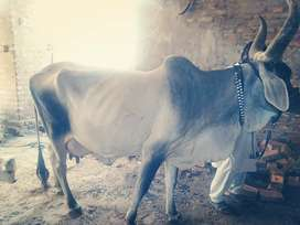 Fresh cow and goat milk Rs 100 per kg