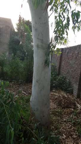 Eucalyptus Trees for Sale