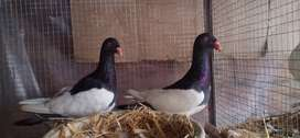 Magpie danish 2 breader pair for sale cargo all Pakistan