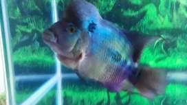 Jual ikan Louhan usia dewasa agresive dan sehat