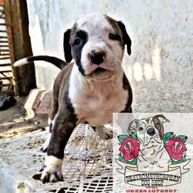 Puppies Pitbull