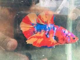Ikan cupang Giant Nemo