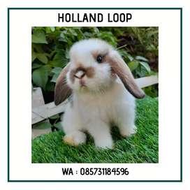 Holland loop kelinci terlucu di dunia