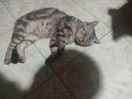 Kucing American shorthair original