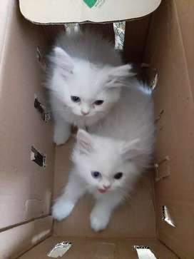 Percien cat different eyes colour for male