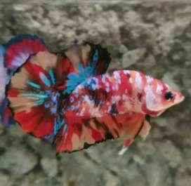Ikan cupang koi antik nemo galaxy multicolor