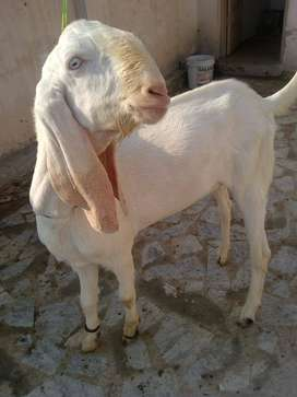Bakra For new shelters