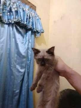 Kucing Himalaya 4bln