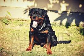 Pedigree rottweiler for sale ADRK