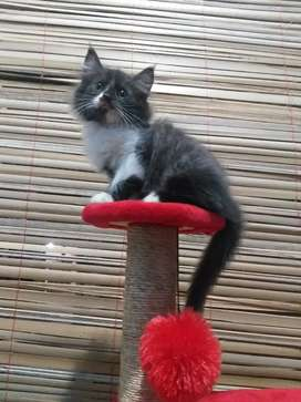 kucing persia mix MC