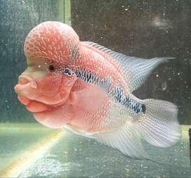 flowerhorn fish for sale