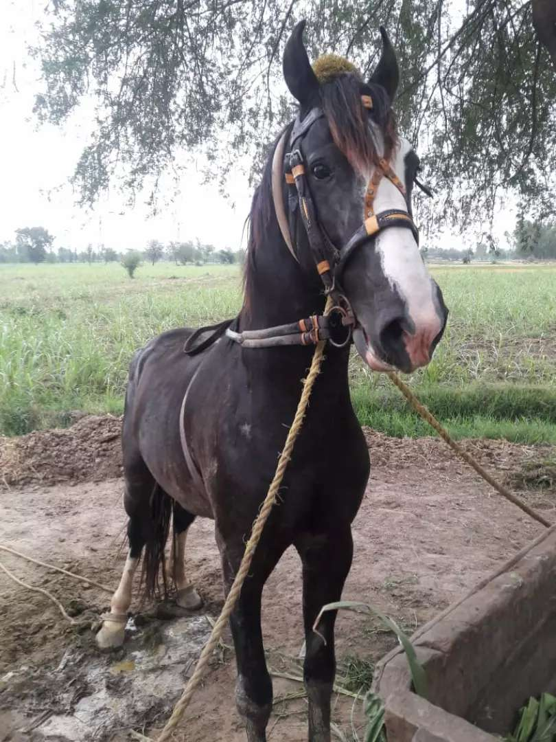 Great horse for sale 0
