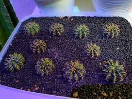 Kaktus Miha & LB Hybrid Terawat Duri Joss
