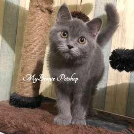 Kucing kitten british shorthair jantan nonped