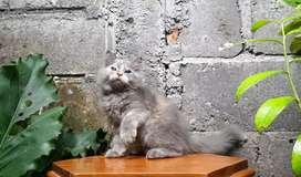 kucing persia medium betina dilute calico lucu menggemaskan