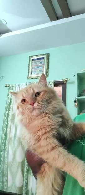 Parsian cat