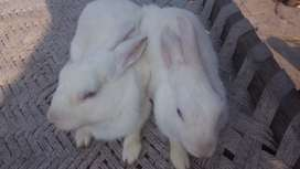 2 male rabbit for sale