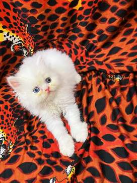 Import lineage kittens in all breeds and colours