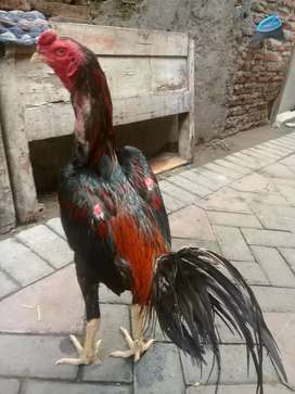 Ayam Magon ( suro watu + jalu teplek )
