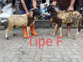 Jual Hewan Qurban Sapi Kambing Domba Murah Di Salatiga