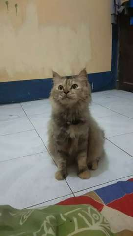 Kucing maine coon mix persia
