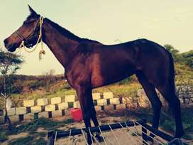 6 years old horse female