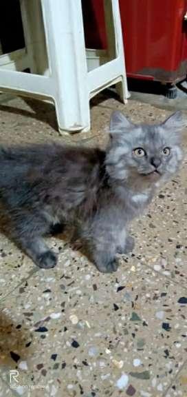 Partion Cat