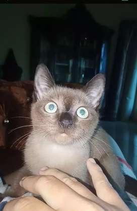 Siamese cats / siamese himalaya