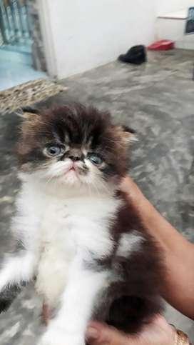 Kucing persia peagnose