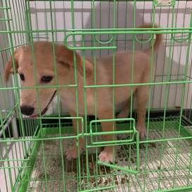 Anjing JANTAN golden mix labrador