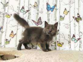Kucing kitten persia longhair