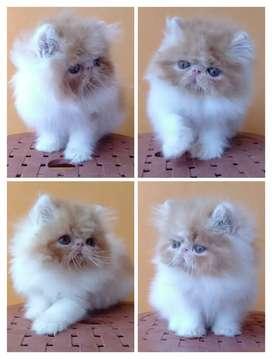 Kucing persia peaknose extream siap adopt