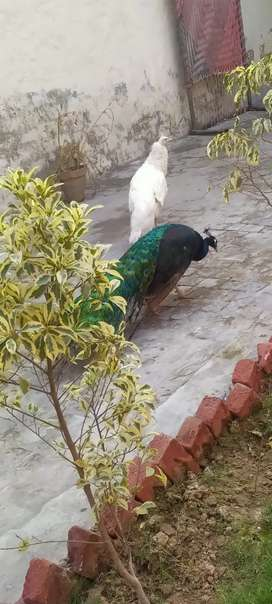 Peacock pair for sale full actibe