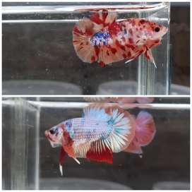 Ikan cupang ( paket 2 ekor )