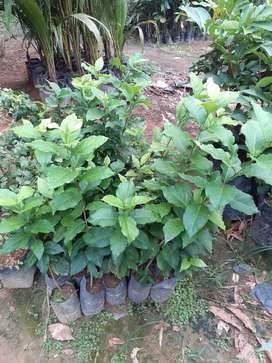 Jual bibit kacang amazon murah di Sumatera Utara