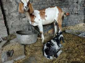 Cross desi goat with 1.5 month bakra