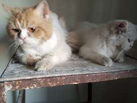 Persian cat for sale.