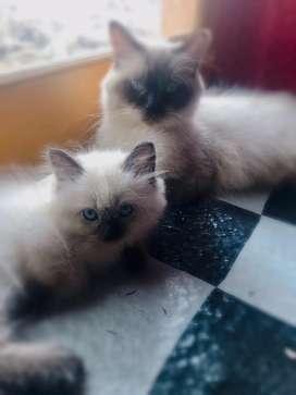 Anakan persia himalya kitten