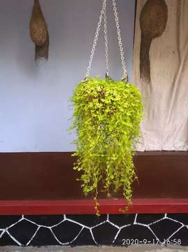 Currten plant