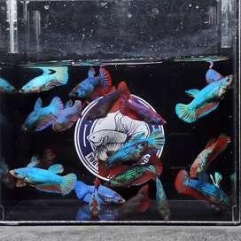 Jual Ikan Cupang Betta Besgel Line Avatar (Mutasi Panjang) Usia 3,5 mo